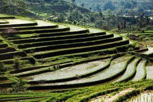 Рисовые поля Джати Луви фото
